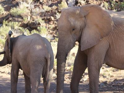 Elephants at Twyfelfontein